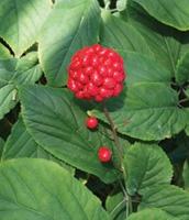 American Ginseng berry Panax quinquefolius