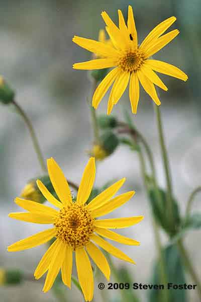 Arnica SF for AAH