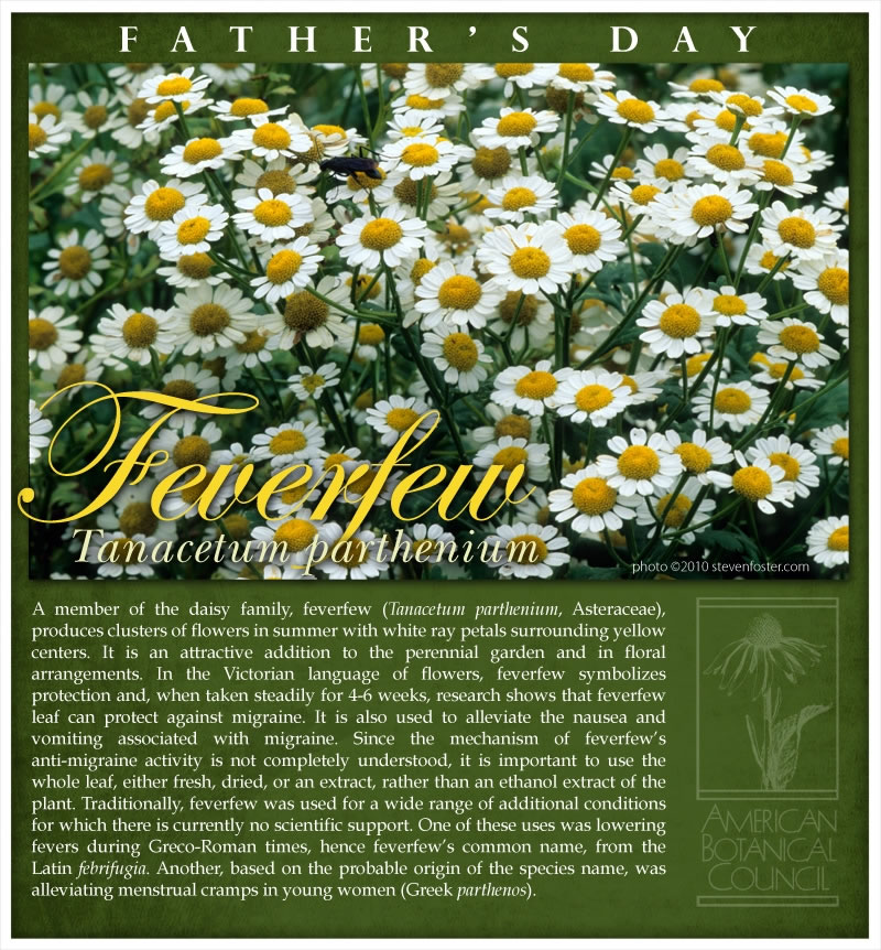Feverfew Father's Day2