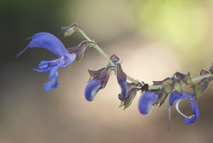 Danshen Flower