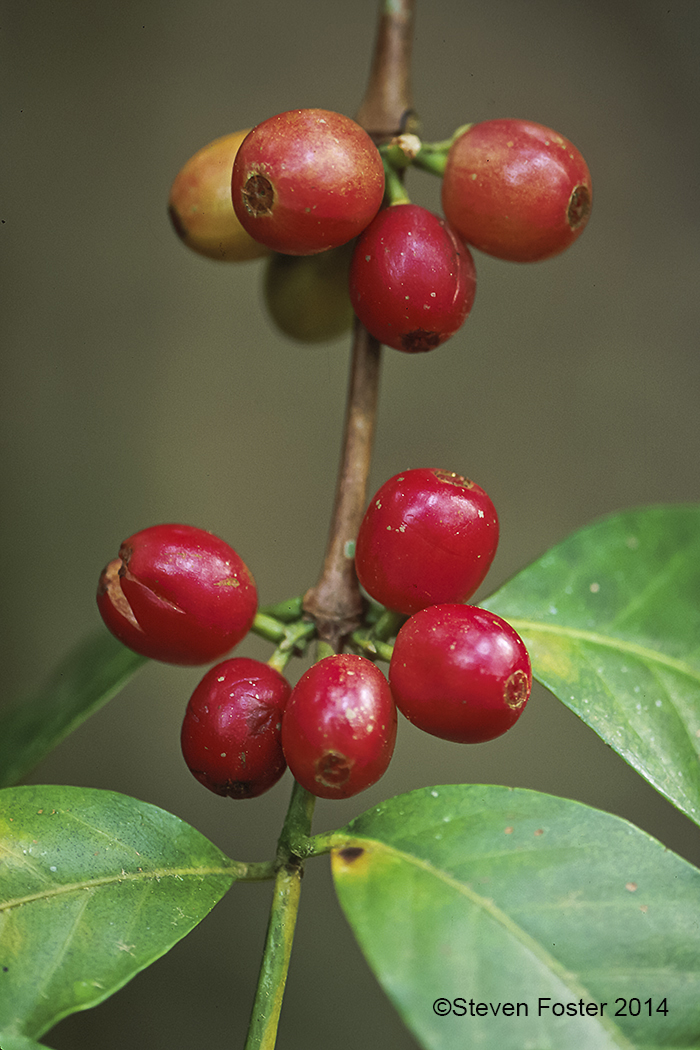 CoffeeBerry_for_AAH