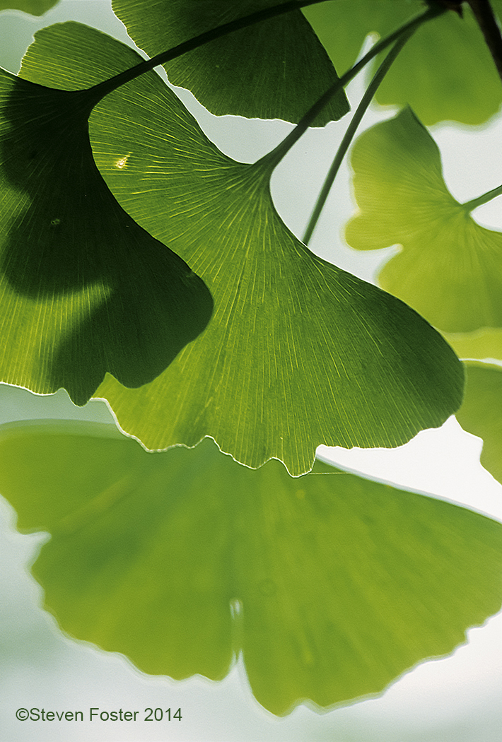 Ginkgo_for_AAH