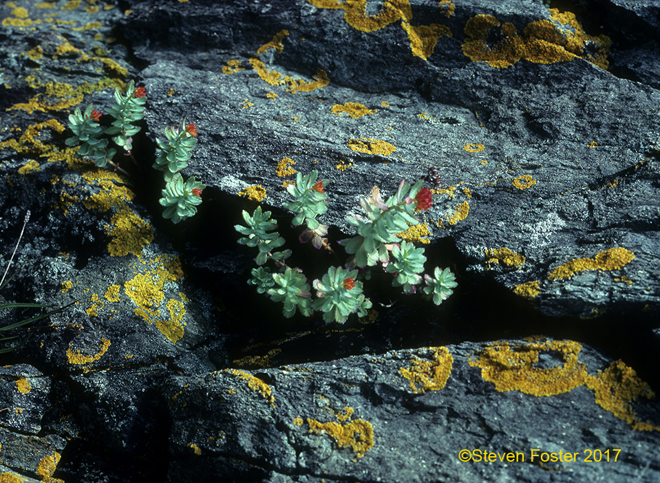 Rhodiola for AAH