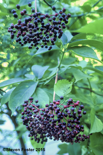 Elderberry for AAH