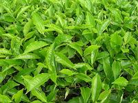 Tea_leaves2.jpg