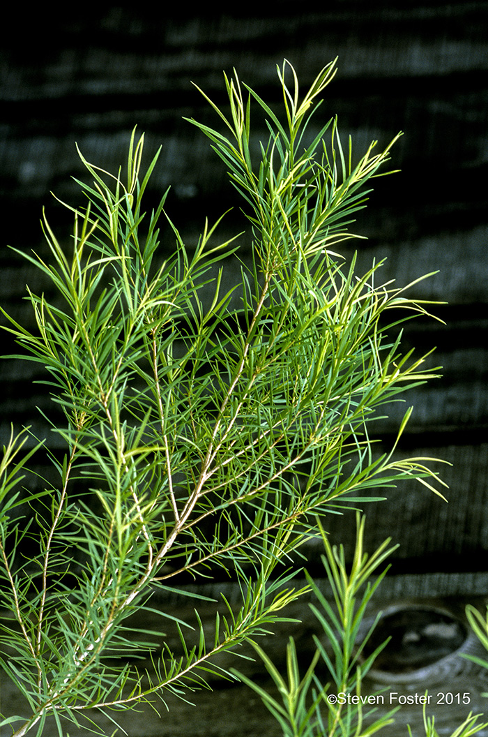 Tea Tree Melaleuca Alternifolia American Botanical Council