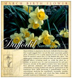 march daffodil