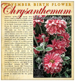 Chrysanth - November Birthday
