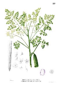 moringa illustration
