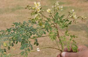 moringa leaves and flowers